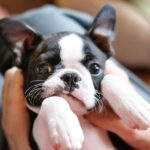 Everything About Boston Terriers