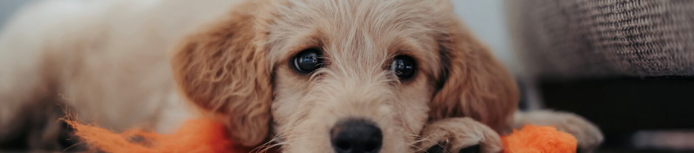 What You Need to Consider When Getting a Puppy